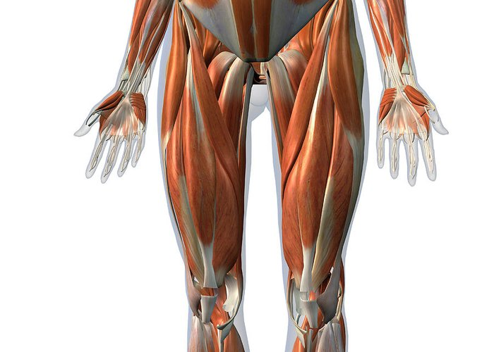 Fibularis Longus Muscle Art | Fine Art America