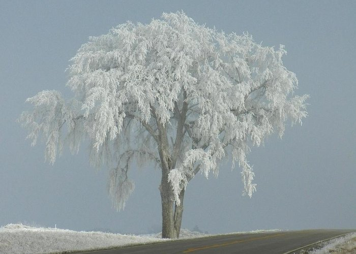 Landscape Greeting Card featuring the photograph Frost Covered Lone Tree by Penny Meyers