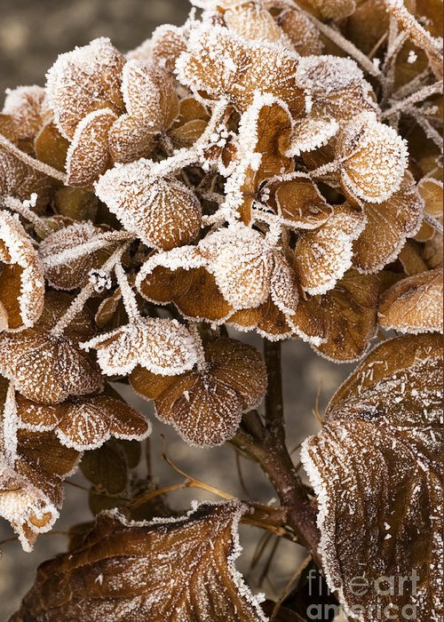 Frosted Greeting Card featuring the photograph Frosted Hydrangea by Anne Gilbert
