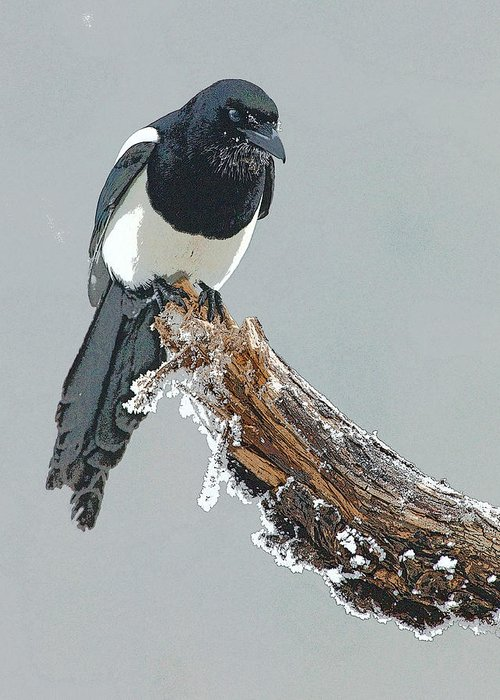 Abstract Greeting Card featuring the digital art Frosted Magpie- Abstract by Tim Grams
