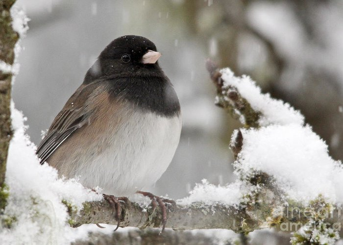 Junco Greeting Card featuring the photograph Frozen Junco by Inge Riis McDonald