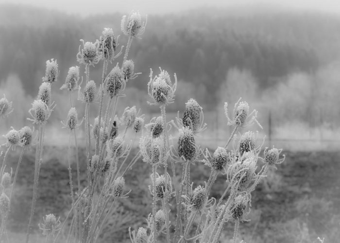 Jean Noren Greeting Card featuring the photograph Frozen Teasel by Jean Noren