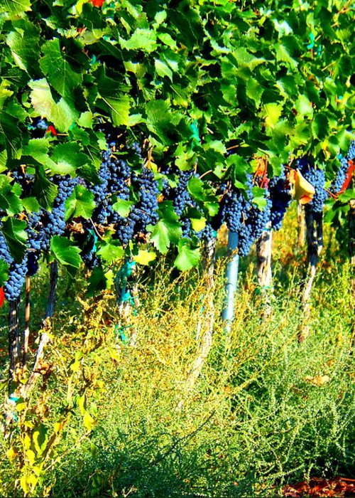 Grapes Greeting Card featuring the photograph Fruit Of The Vine by Kay Gilley