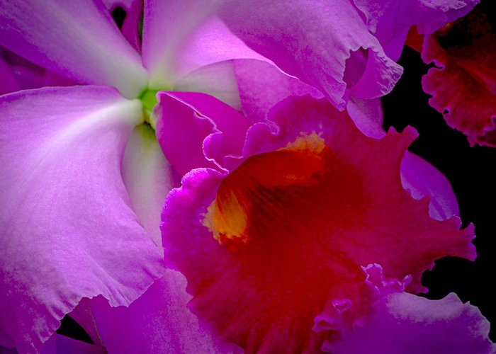 Cattleya Greeting Card featuring the photograph Fuchsia Cattleya Orchid Squared by Julie Palencia