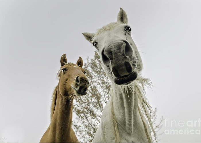Nature Greeting Card featuring the photograph Funny Horses by Cindy Bryant