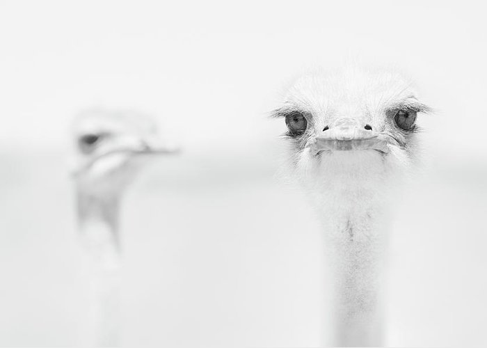 Ostrich Greeting Cards