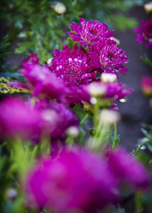 Fuschia Mums Greeting Card featuring the photograph Fuschia Mums 1 by Jessica Velasco