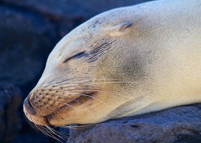 Sealion Greeting Card featuring the photograph Galapagos Sealion by Allan Morrison