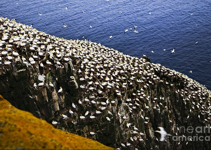 Cape Greeting Card featuring the photograph Gannets At Cape St. Mary's Ecological Bird Sanctuary by Elena Elisseeva