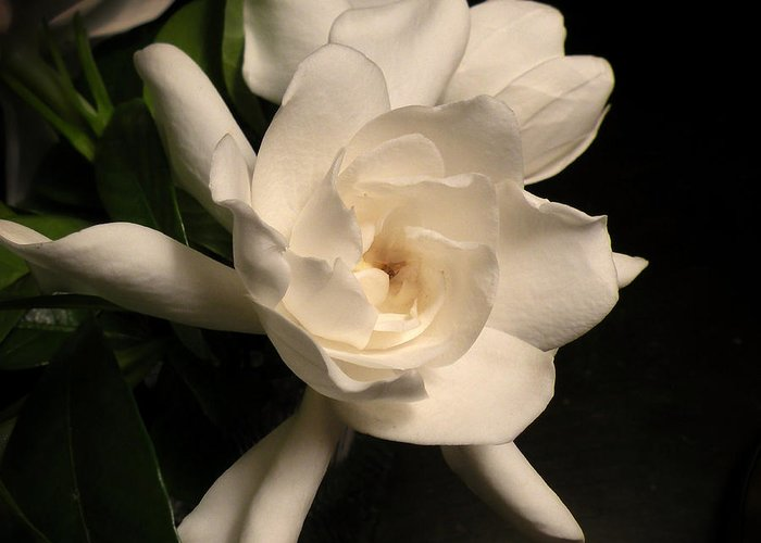 Flower Greeting Card featuring the photograph Gardenia Blossom by Deborah Smith