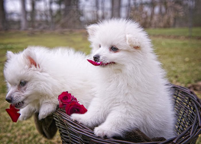 American Eskimo Puppies Greeting Card featuring the photograph Gather Ye Rosebuds While Ye May . . . by Bonnie Barry