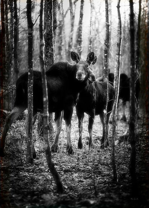 Moose Greeting Card featuring the photograph Gathering Of Moose by Bob Orsillo