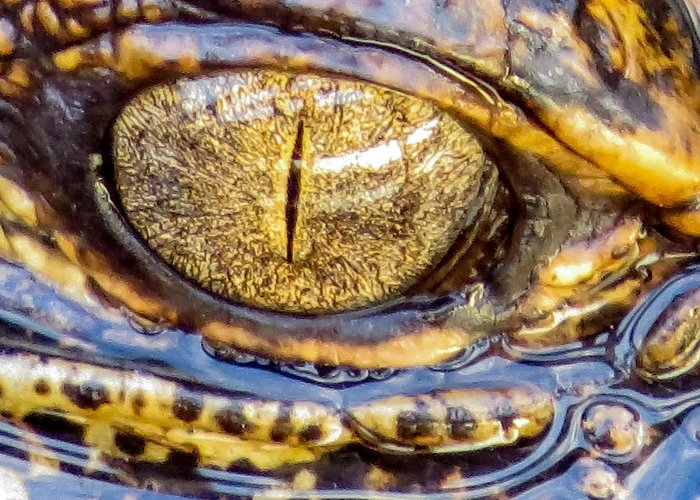 Eye Greeting Card featuring the photograph Gator Baby's Eye by Zina Stromberg