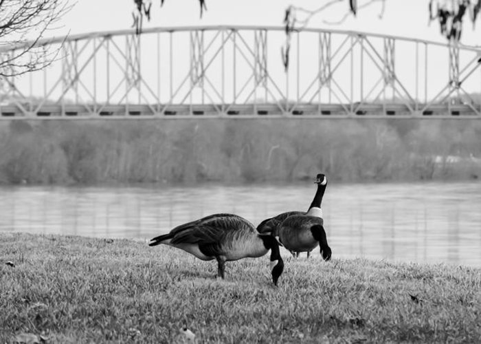Geese Greeting Card featuring the photograph Geese By The Ohio by Jan M Holden
