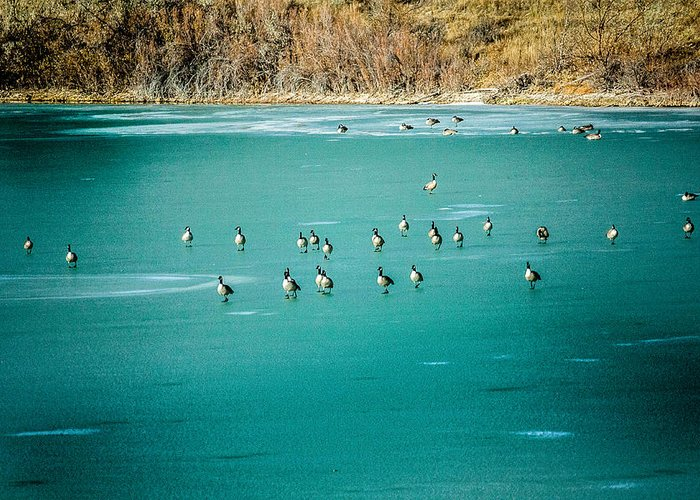 Colorado Greeting Card featuring the photograph Geese On Ice by Karen Saunders