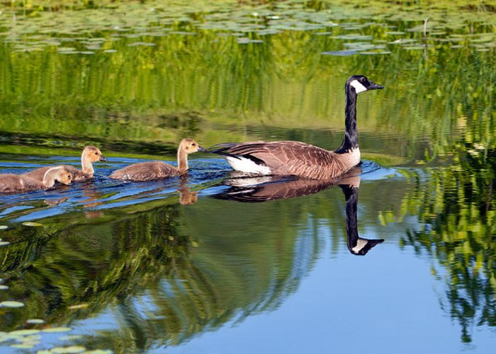 Goose Greeting Card featuring the photograph Geese Ripples by Shell Ette