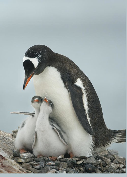 534764 Greeting Card featuring the photograph Gentoo Penguin With Chicks Antarctica by Kevin Schafer