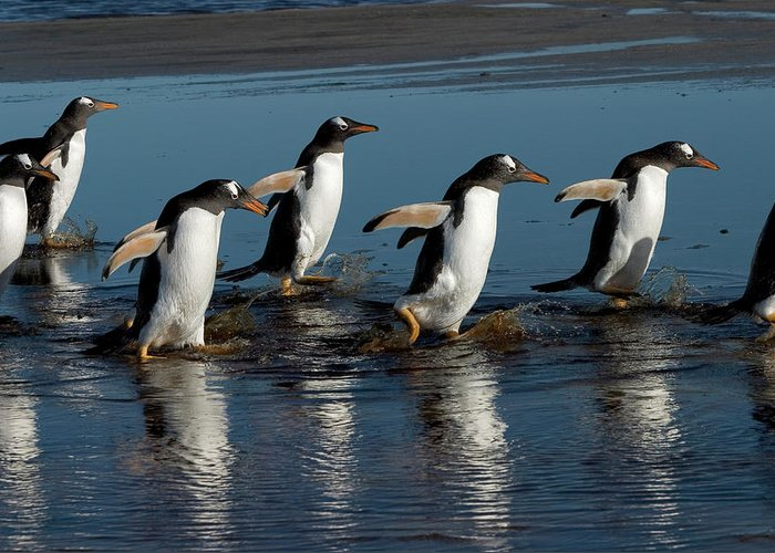 Color Image Greeting Card featuring the photograph Gentoo Penguins Walking by Hiroya Minakuchi