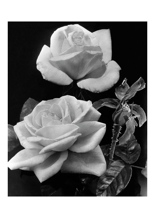 Flowers Greeting Card featuring the photograph 'george Arends' Roses by J. Horace McFarland