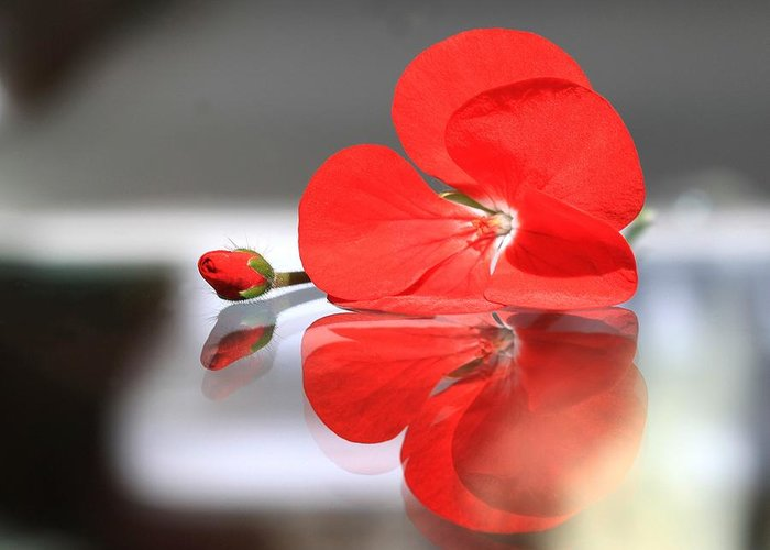 Geranium Greeting Card featuring the photograph Geranium Reflections by Andrea Lazar