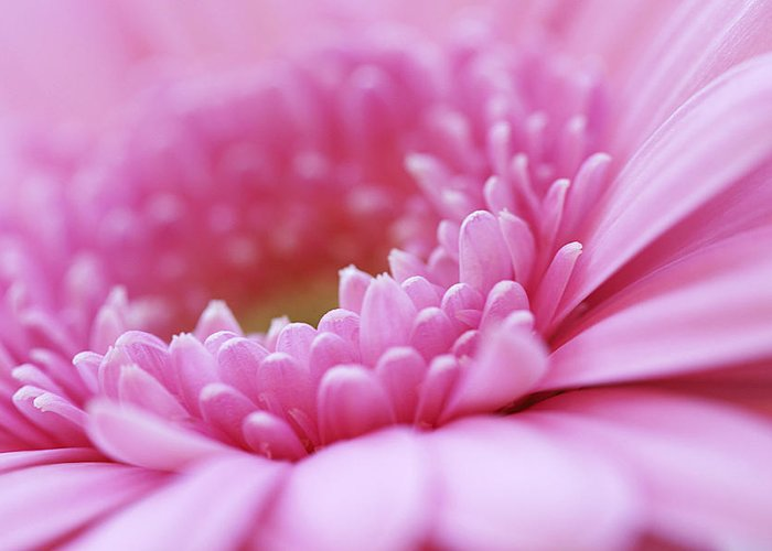 Flower Greeting Card featuring the photograph Gerbera Daisy Flower - Pink by Natalie Kinnear