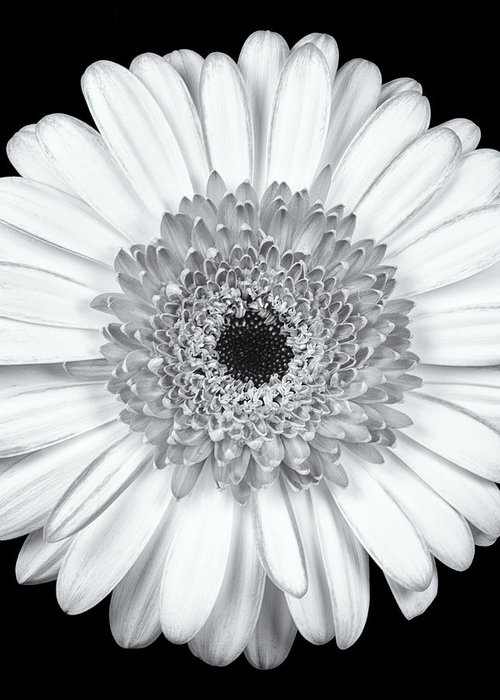 3scape Photos Greeting Card featuring the photograph Gerbera Daisy Monochrome by Adam Romanowicz