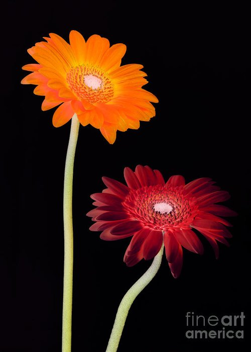 Gerbera Greeting Card featuring the photograph Gerbera Fantasy by Rosemary Calvert