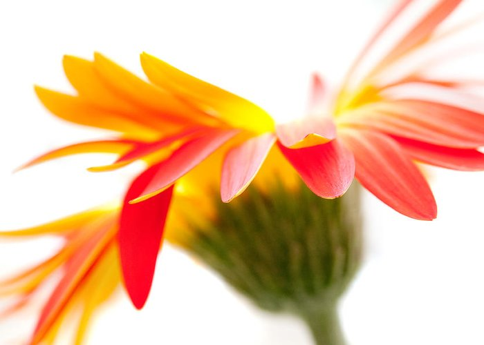 Flower Greeting Card featuring the photograph Gerbera Mix Crazy Flower - Orange Yellow by Natalie Kinnear