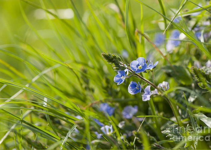 Back Greeting Card featuring the photograph Germander Speedwell by Anne Gilbert