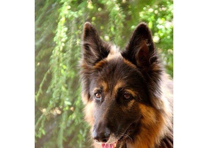 Germanshepherd dog paws pet greeting card for sale by skye schipkie germanshepherd greeting card featuring the photograph germanshepherd dog paws pet by skye m4hsunfo