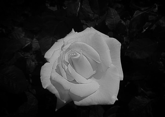 Rose Greeting Card featuring the photograph Ghost Rose by Nick Kloepping