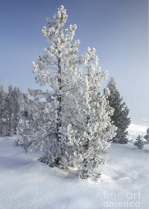 Yellowstone Greeting Card featuring the photograph Ghost Trees Of Yellowstone by Sandra Bronstein