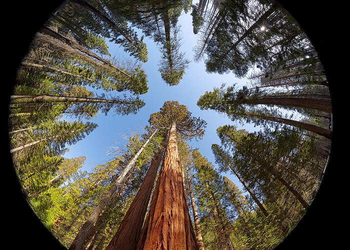 Sequoia Greeting Card featuring the photograph Giant Sequoia Fisheye by Jane Rix