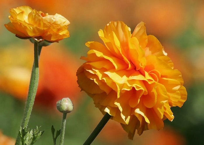 Field Greeting Card featuring the photograph Giant Tecolote Ranunculus - Carlsbad Flower Fields Ca by Christine Till