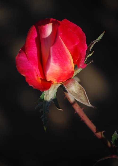 Red Rose Greeting Card featuring the photograph Gift Of Love by Billie Colson