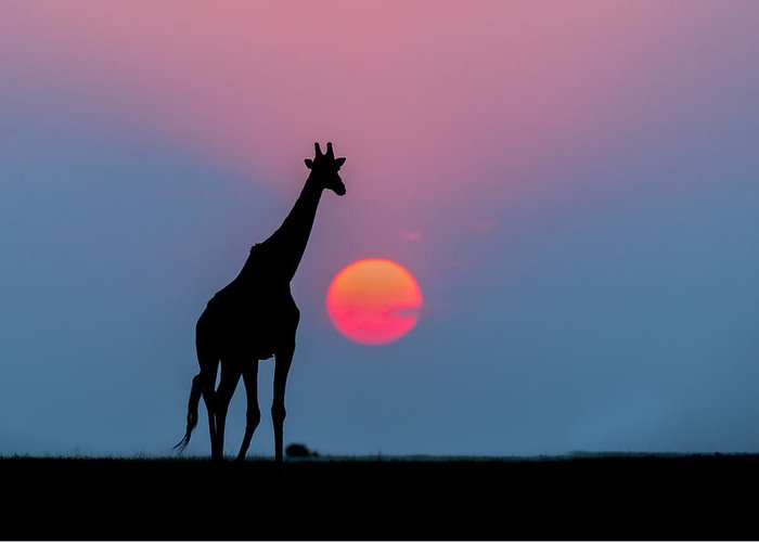 Nis Greeting Card featuring the photograph Giraffe At Sunset Chobe Np Botswana by Andrew Schoeman