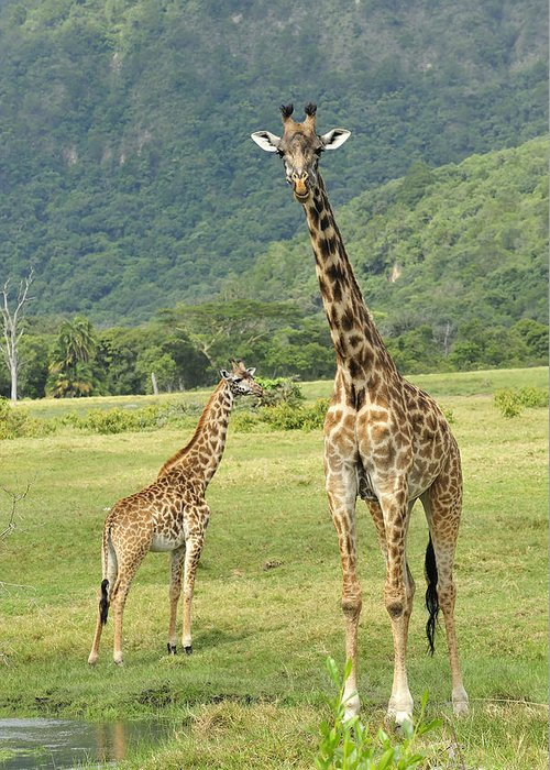 Thomas Marent Greeting Card featuring the photograph Giraffe Mother And Calftanzania by Thomas Marent
