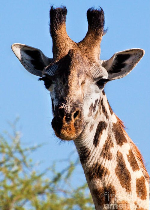 Giraffe Greeting Card featuring the photograph Giraffe Portrait Close-up. Safari In Serengeti. by Michal Bednarek