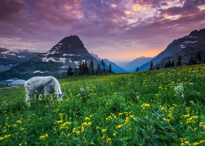 Mountain Goat Photographs Greeting Cards