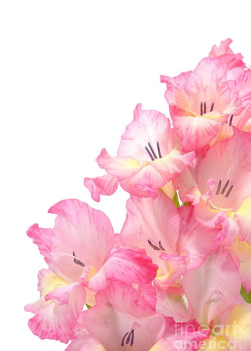Gladiolas Greeting Card featuring the photograph Gladiolus by Olivier Le Queinec