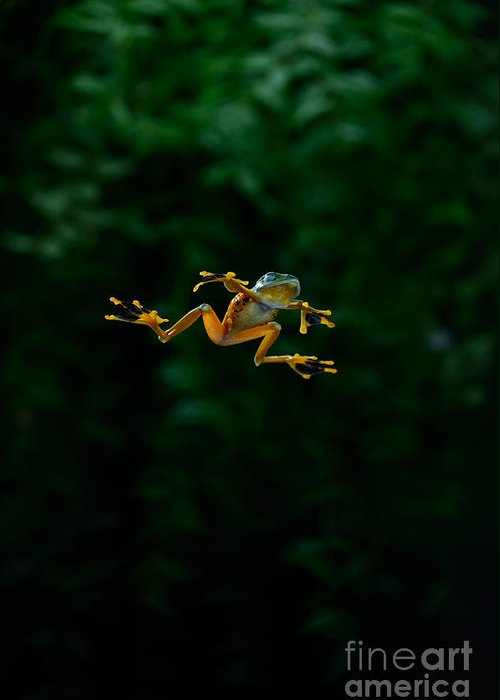 Rhacophorus Greeting Card featuring the photograph Gliding Frog In Flights by Scott Linstead