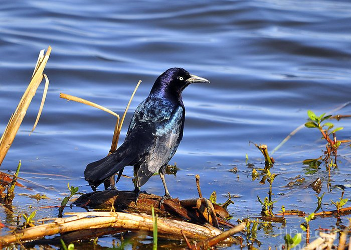 Grackle Greeting Card featuring the photograph Glorious Grackle by Al Powell Photography USA
