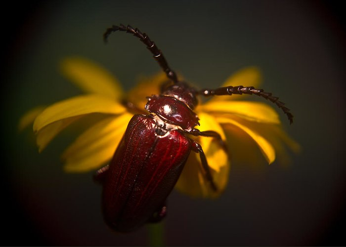 Glowing Greeting Card featuring the photograph Glowing Beetle by Douglas Barnett