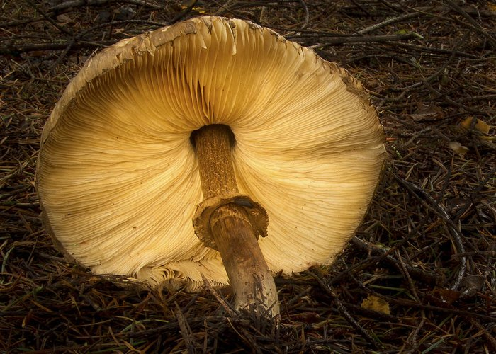 Noren Greeting Card featuring the photograph Glowing Shaggy Mane Mushroom by Jean Noren