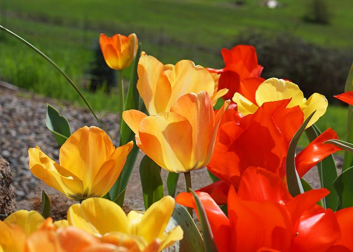Red Greeting Card featuring the photograph Glowing Sunlit Tulips Art Prints Red Yellow Orange by Baslee Troutman