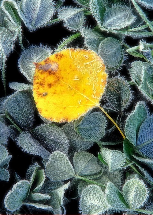 First Frost Greeting Card featuring the photograph Gold On Green by Bill Morgenstern