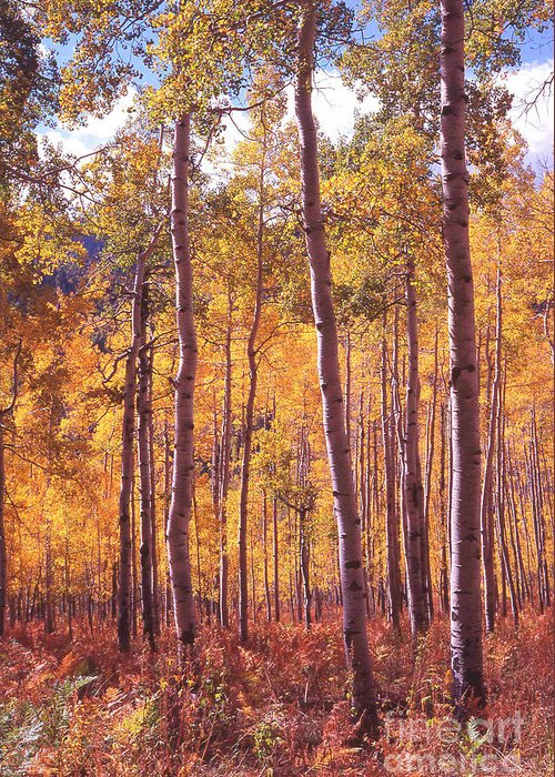 Landscape Greeting Card featuring the photograph Golden Aspens Of Owl Creek Pass In Southern Colorado by Alex Cassels