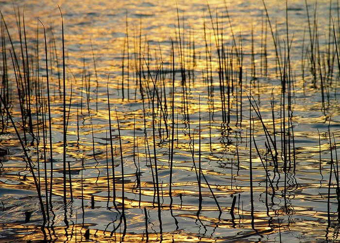 Golden Greeting Card featuring the photograph Golden Lake Ripples by James BO Insogna