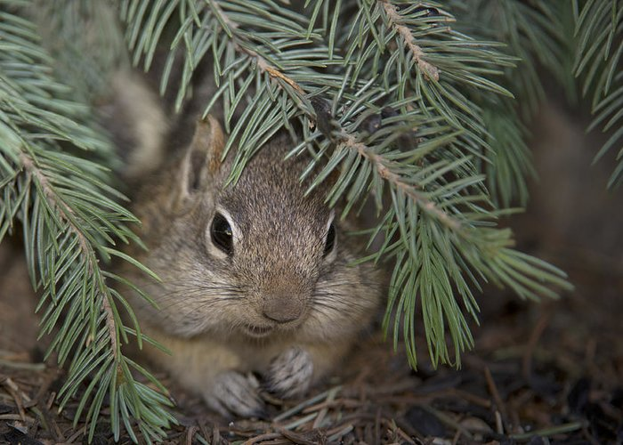 Ground Squirrel Greeting Card featuring the photograph Golden Mantled Ground Squirrel  Callospermophilus Lateralis by Carol Gregory