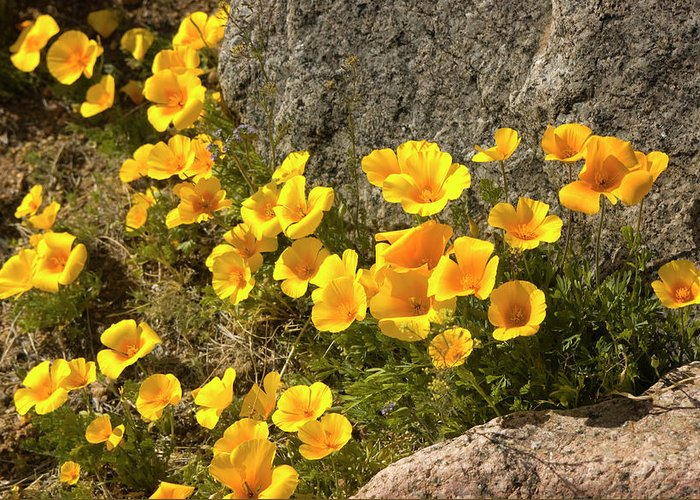 Chihuahua Desert Greeting Card featuring the photograph Golden Poppies Among Rocks by Elflacodelnorte